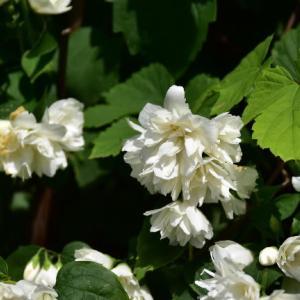 八重咲きのセイヨウバイカウツギ