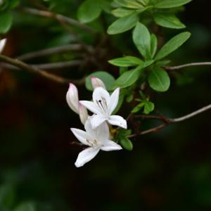白いサツキの花