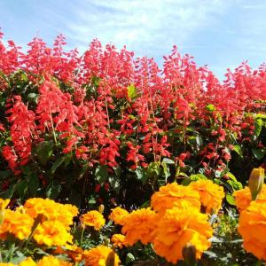 サルビアの花が🎵