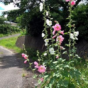 茨城県北2020年梅雨の晴れ間・・タチアオイの花咲く