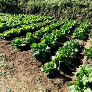 茨城県北2021年の秋・・野菜が育つ