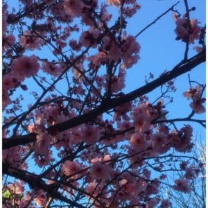 男の子も花に興味あるんですねぇ。桜フェスティバル行って参りました。日本の桜に比べりゃぁですがねっ