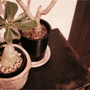 「塊根植物のすべて(横町 健)」と植欲そそるコーデックス