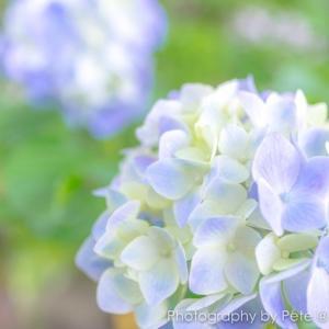 【初心者向け】紫陽花はハイキーで撮ろう