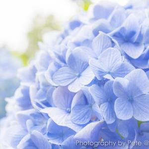梅雨といえば紫陽花