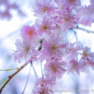 枝垂れ桜 ~八重紅枝垂~ (Weeping cherry ~Yaebenishidare~)