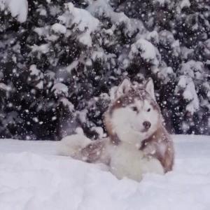 雪とシベリアン!