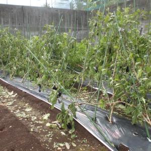 朝の台風15号の影響で畑は甚大な被害・・・・・