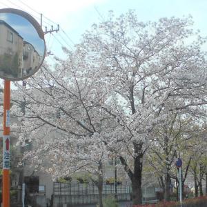 桜も終わりです