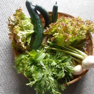夏野菜採れ始めました