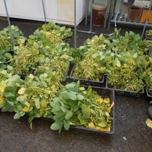 オクラもうすぐ収穫か! 夏野菜は絶好調