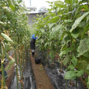 今日も旬の夏野菜が籠いっぱい