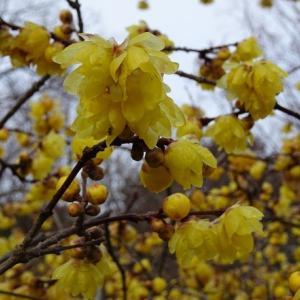 大和民俗公園の蝋梅