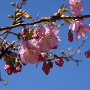 山田池公園の河津桜