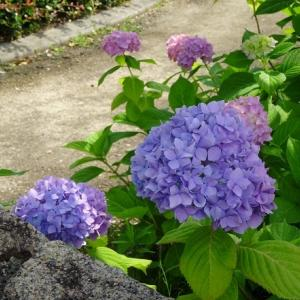 枚方市民の森の紫陽花・バラ他