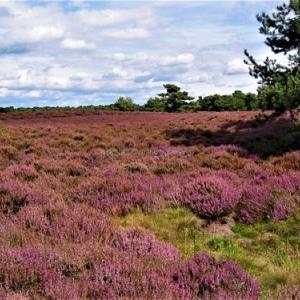 オランダの絶景Heide(ハイデ)!一面の紫のカーペットの花と香り