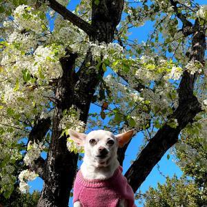 年に3回咲く我が家の桜の木
