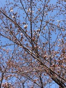 de愛ひろばの桜