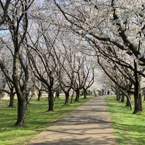 今年も小松市の桜の名所「木場潟」の桜と「芦城公園」の桜を見てきました!
