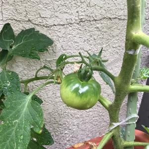みるみる成長♫ 家庭菜園