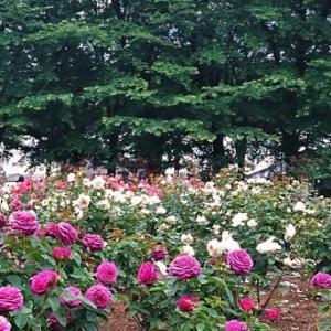 与野公園で薔薇鑑賞♪