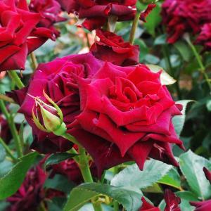 あしかがフラワーパークで薔薇を楽しみ尽くしたよ☆