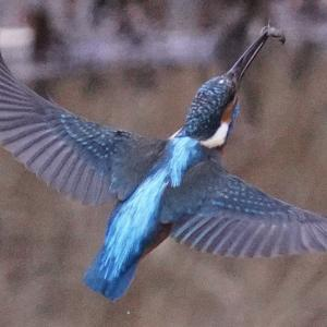 α7RIV: 冬と言ったら鳥さんをキャッチしにいかないとです(カワセミチャレンジ記録#9)