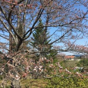 桜❔を見ながら プチはいかい