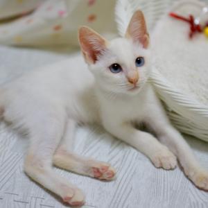 里親様募集中☆ レアカラーの超可愛い甘えんぼ子猫:スフレくん♪