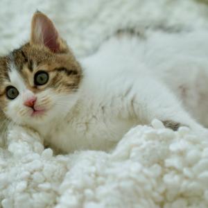 里親様募集中☆ 洋猫MIX?超可愛いほわほわ子猫♡アニーちゃん♪