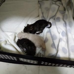 急遽臨月の妊婦猫さんたち。そして出産!