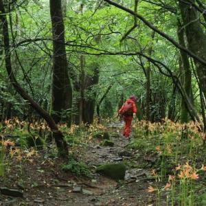 井原山⑤…オオキツネノカミソリを見てきました…