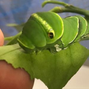 パクちゃん 蛹へ
