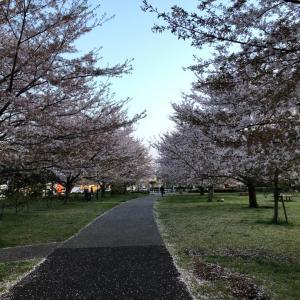 桜はいいよねー。お花見