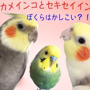 動画あり☆声を大にして言いたいっ、鳥は頭がいいんです!オカメインコ・セキセイインコの4つの賢い行動とその理由