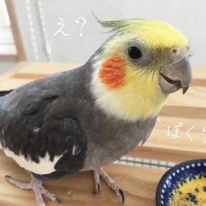 今日から俺は!伊藤ちゃんバリのヘアースタイル☆オカメインコの冠羽について
