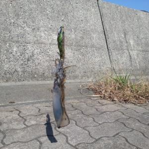 三瓶から佐田岬半島までランガン釣行!( ΦωΦ )!