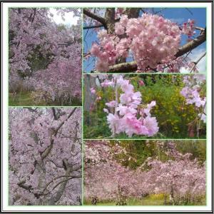 桜を見て待ち合わせ