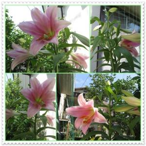 庭にはゆりの花が咲いて花盛りです