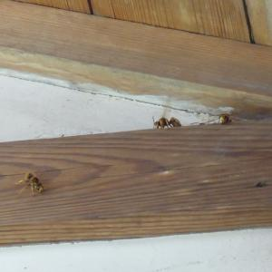 天井裏に侵入したキイロスズメバチ(たぶん)の駆除をしました