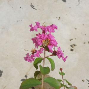 種から育てるサルスベリ 3年目夏の開花の様子
