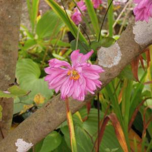 秋明菊(貴船菊)が咲いてます