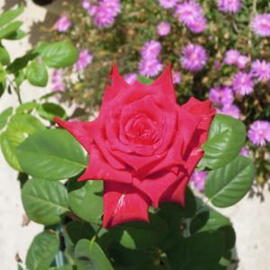 バラ「熱情」(京成バラ園芸)の鉢増し後の成長と開花