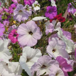 ペチュニア(冬越し&秋まき実生株)が開花しました
