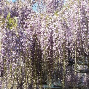 藤棚のフジの開花~満開の様子 <2020>
