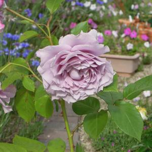 ノヴァーリス(京成バラ園芸)の苗の購入から初開花まで