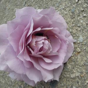 マメコガネによるバラ(ノヴァーリス)の花の食害