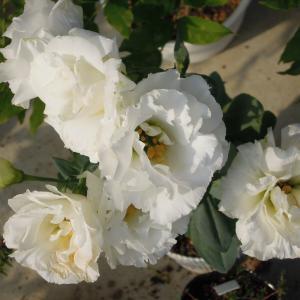 購入4年目のトルコギキョウ開花(と植替え) <2020>