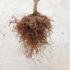 種から育てるサルスベリ 4年目春の植え替え <2020>