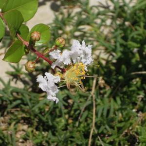種から育てるサルスベリ 4年目夏 複数株開花 <2020>